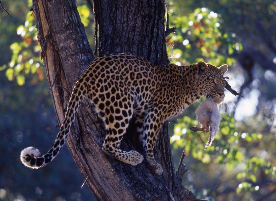 leopard(960x640)(1).jpg (leopárd)