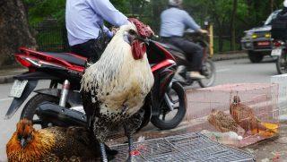 madarinfluenza-vietnamban(960x640)(1).jpg (kakas, madárinfluenza, )