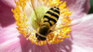 méhecske (méhecske, )