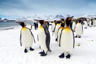 pingvin (pingvin, hideg, )