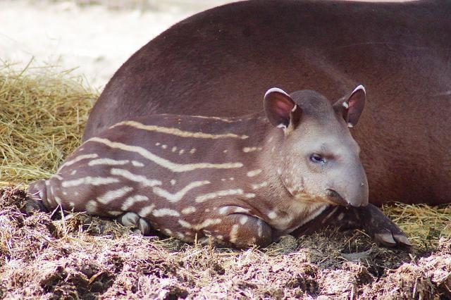 tapír (tapír)
