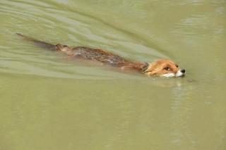 Róka úszik a Dunában Gemencnél (Róka úszik a Dunában Gemencnél)