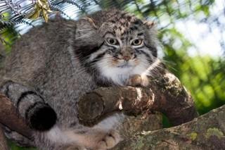 Sztyeppek-macskaja-a-manul(960x640).jpg (Sztyeppék macskája, a manul)