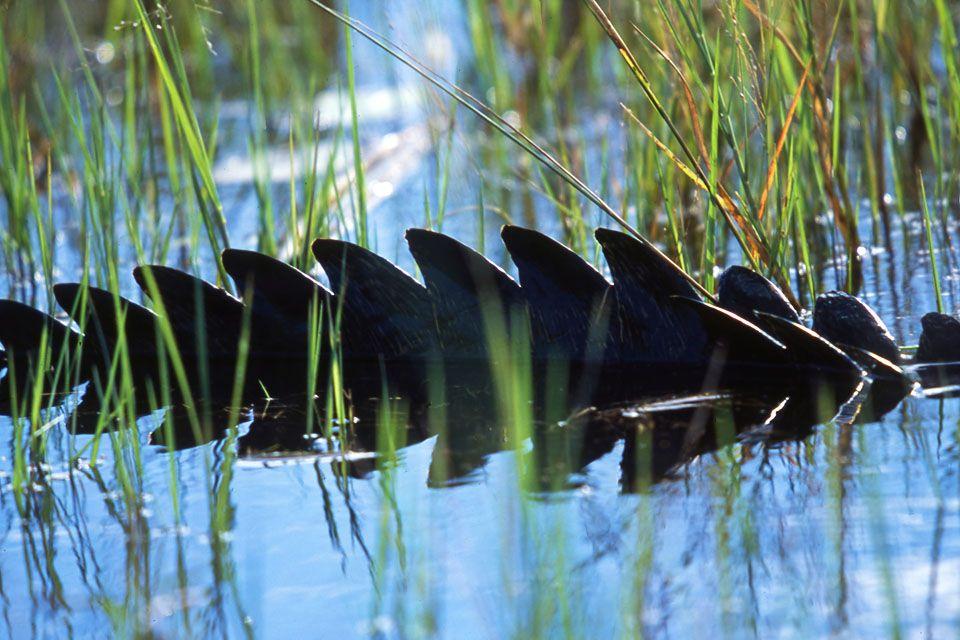 aligátor (aligátor)