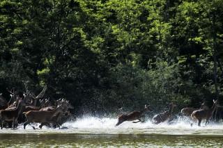 árvíz menekülnek a vadak (árvíz, vad, őz)