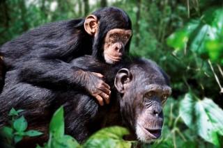 csimpánz (csimpánz, )