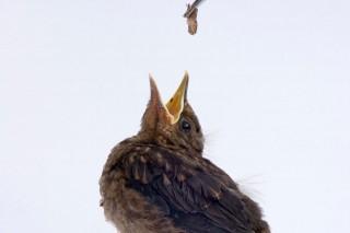 fekete rigó fióka (fekete rigó fióka, madárfióka)