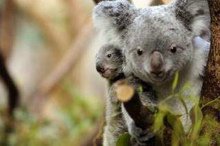 koala (koala, veszélyeztetett fajok, )