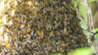 méhrajzás (méhrajzás, )