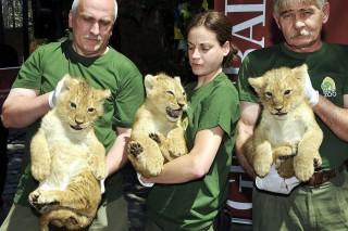 Oroszlánkölykök (oroszlánkölykök)