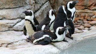 pingvinek (pingvin, hűvös, )