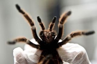 pók (pók, )