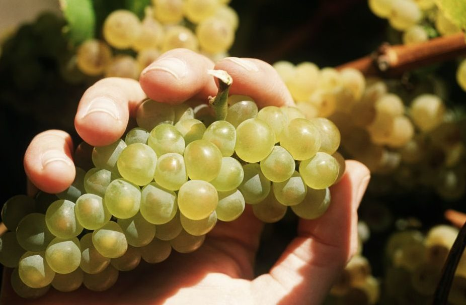 szőlő (szőlő, )