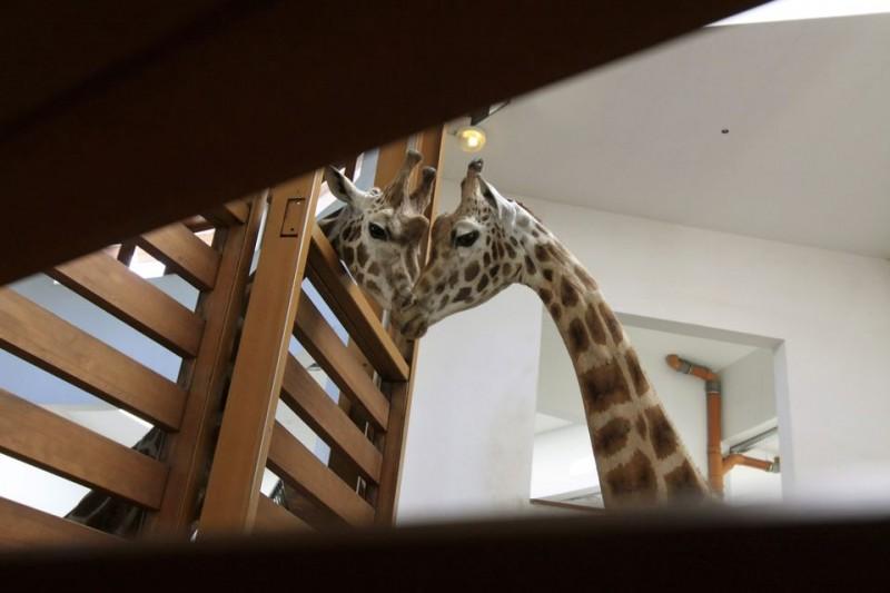 zsiráf (zsiráfok, veszprémi állatkert, )