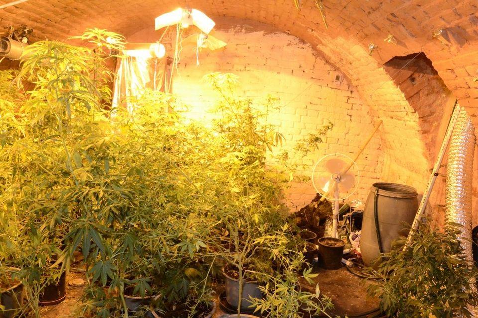 Drogültetvény (drog, drogültetvény, kannabisz, cannabis, )