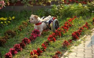 Kerekes kutyus (kutya)