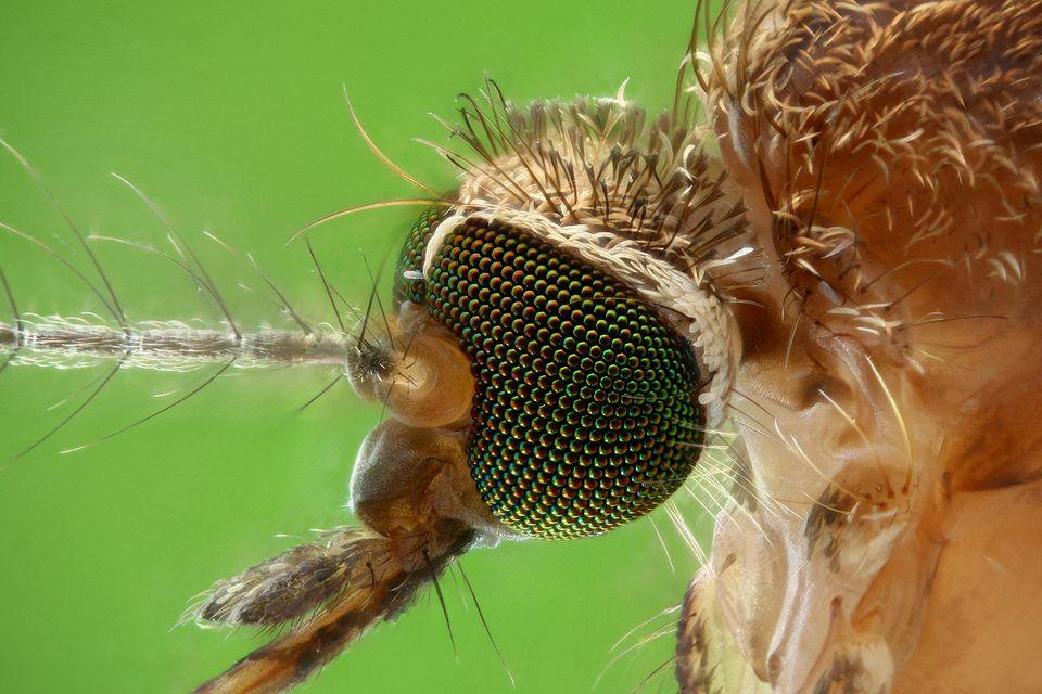 Szúnyog (szúnyog, )