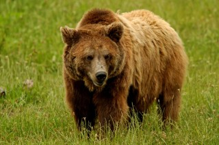 barnamedve (medve)