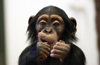 csimpanzkolyok(960x640)(1).jpg (csimpánzkölyök)