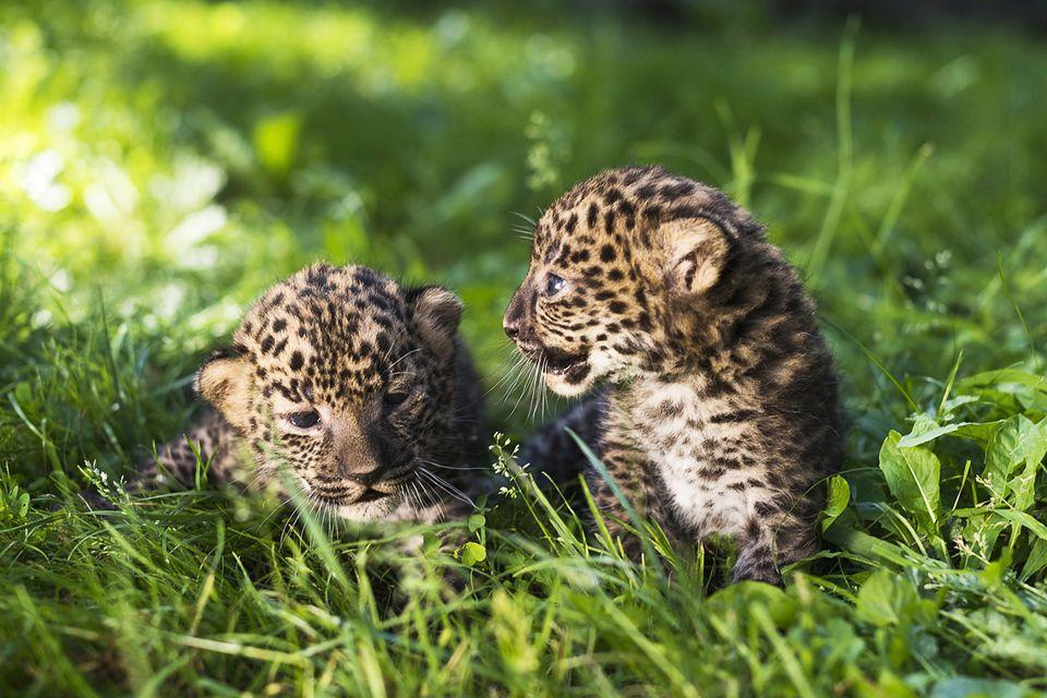 leopárd (leopárd)