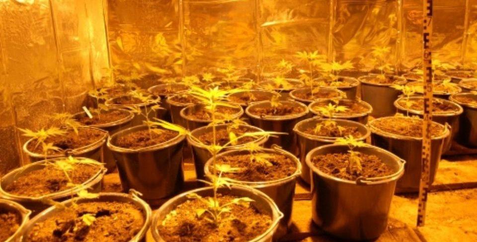 marihuánaültetvény, drog, kábítószer (marihuána, cannabis, )