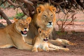 oroszláncsalád (oroszlán)