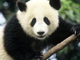 panda (panda, )