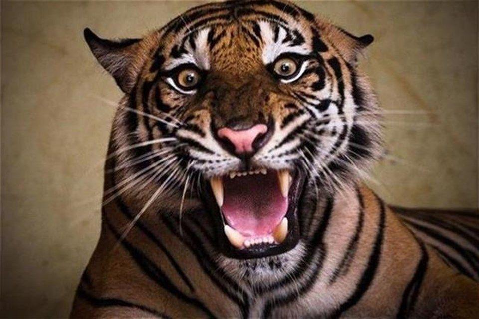 tigris(1)(960x640).jpg (tigris, )