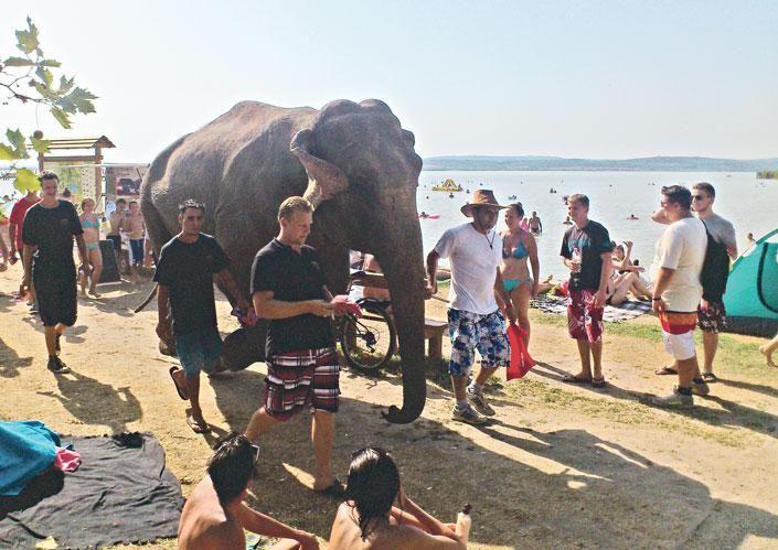Elefánt járt Gárdonyban (elefánt, gárdony, velencei-tó, strand, )
