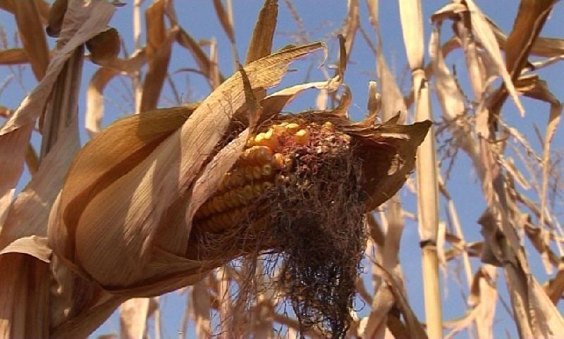 Kukorica (Kukorica)