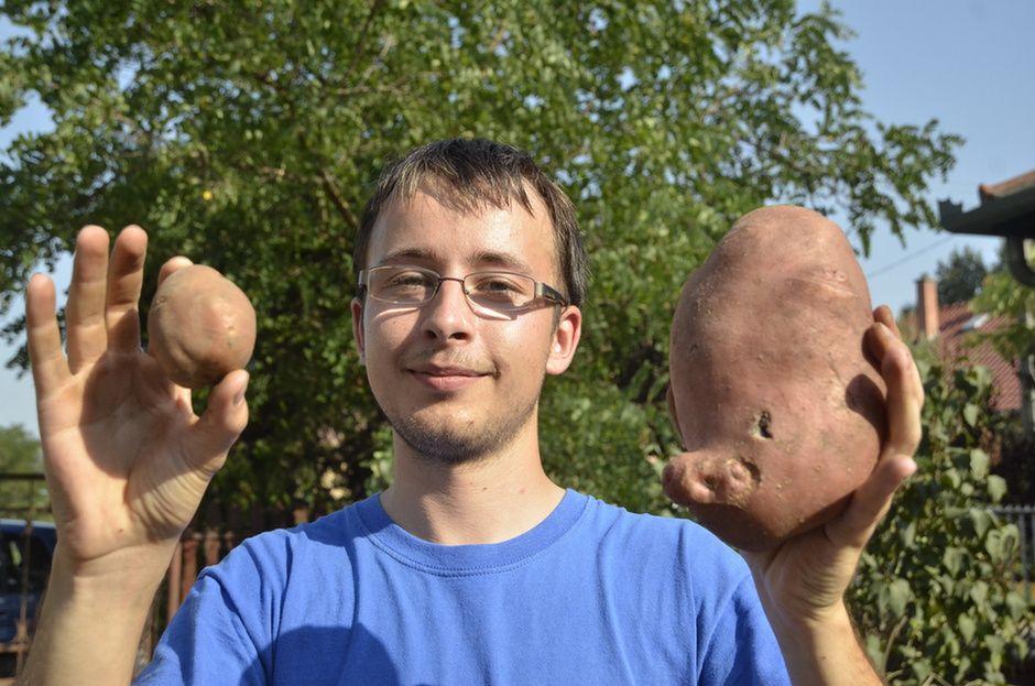 Óriáskrumpli (krumpli, burgonya, )