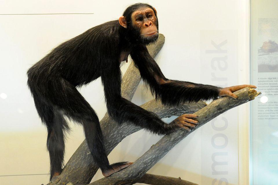 Rudapithecus (rudapithecus)