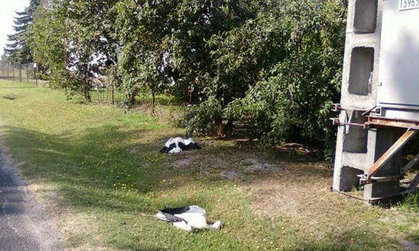 gólyák (elhullott gólyák)