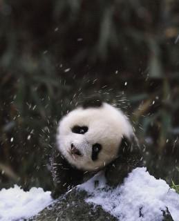 kicsi panda (panda, kölyök, )