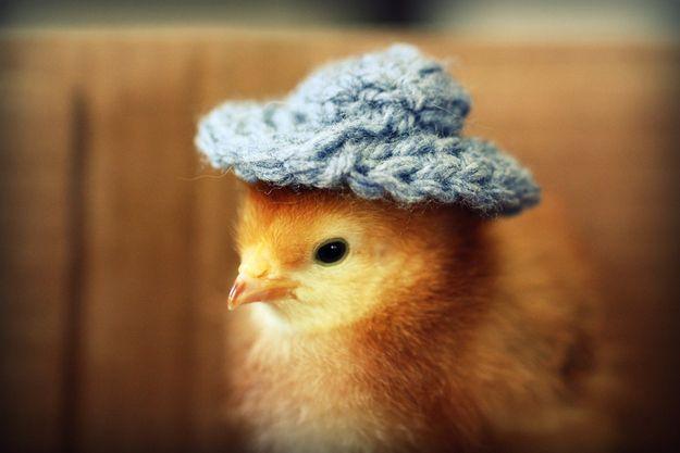 kiscsibe (kalapban)