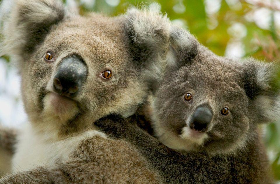koala (koala)