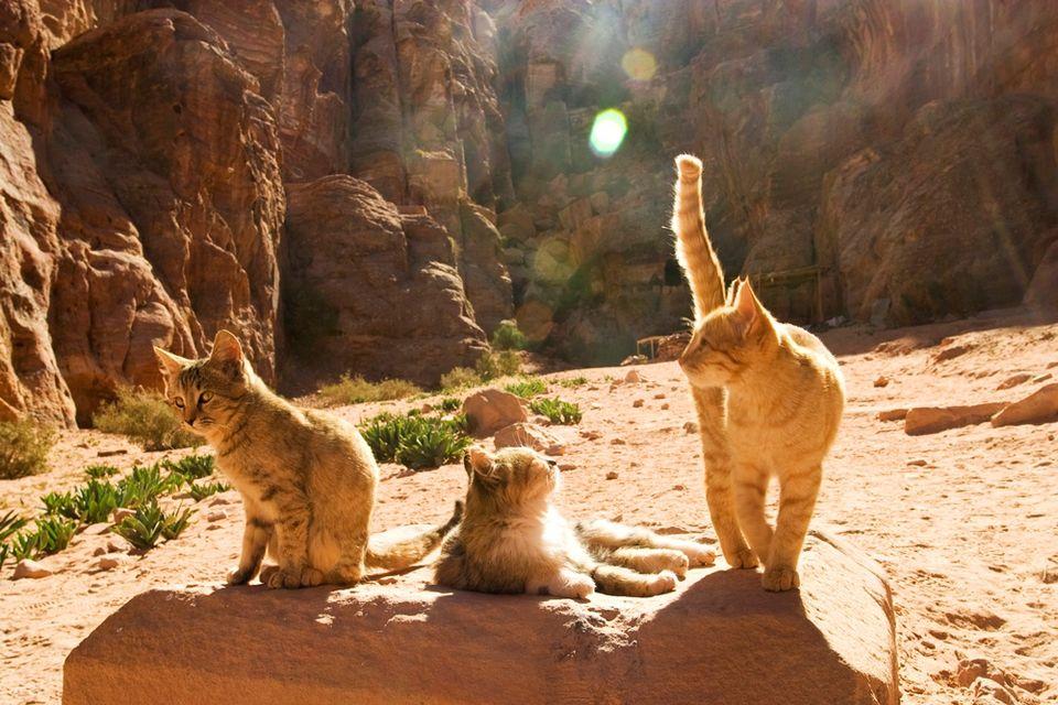 macskák (macskák, )