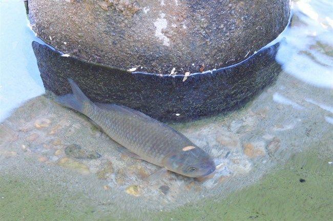 pir2(650x433).jpg (halak, vasarhely, szokokut, karasz)