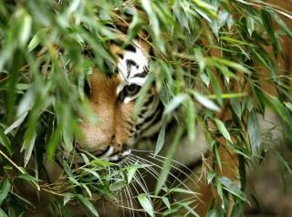 tigris (tigris, )
