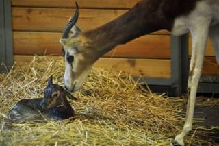 Mhorr gazella született a fővárosi állatkertben (Mhorr gazella született a fővárosi állatkertben)