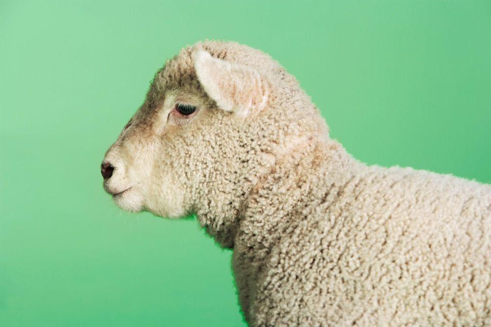 bárány, birka (bárány, )