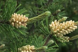 fenyőfa, erdei fenyő (fenyő)