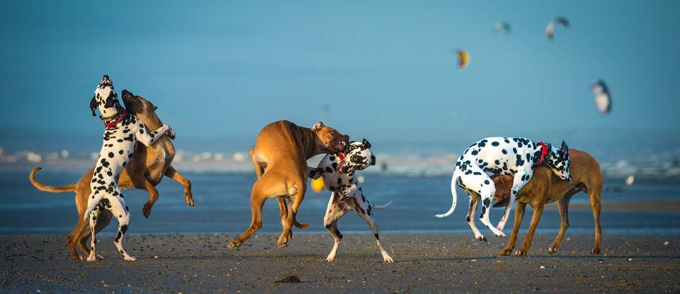 játszó kutyák (játék, kutya)