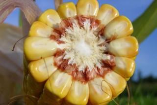kukorica (kukorica, )