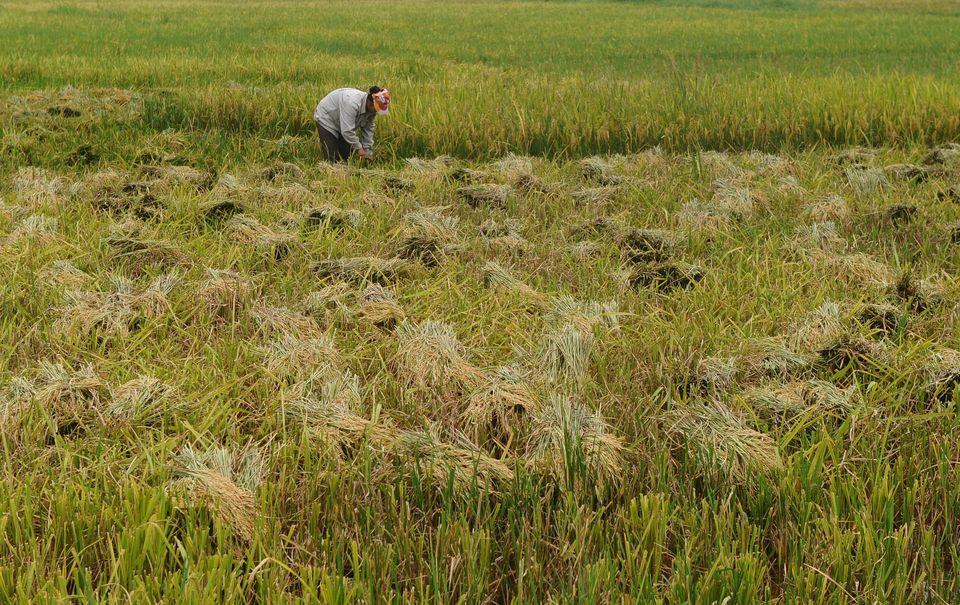 rizsföld (rizsföld, )
