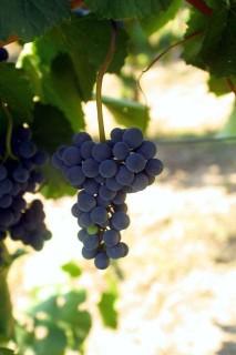 szőlő (szüret, )