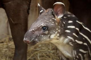 tapir(210x140)(1).jpg (veszprémi állatkert, tapír, )