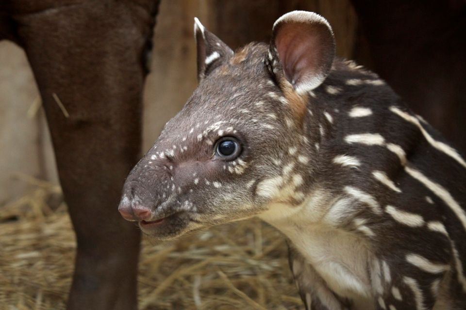 tapír (veszprémi állatkert, )