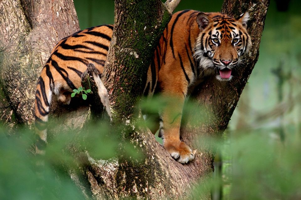 tigris (tigris)