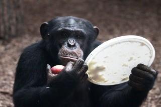 tjobbe a csimpánz (tjobbe, csimpánz, )